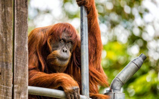 Muere Puan, el orangután más viejo del mundo