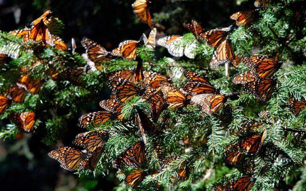 Ha disminuido población de mariposa monarca en México: WWF
