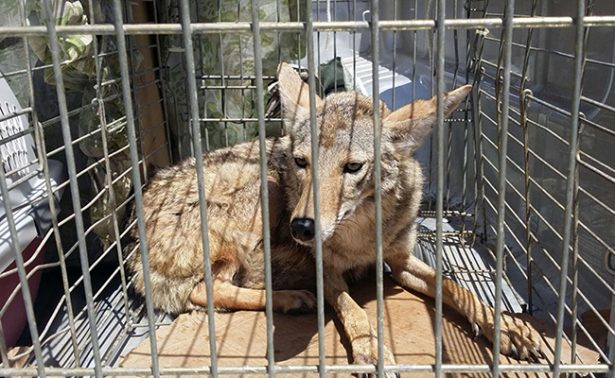 Retornan a su hábitat a ocho animales rescatados en Baja California