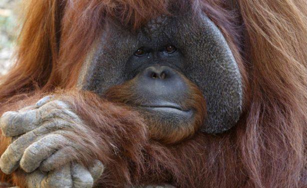 Muere Chantek, uno de los primeros simios en aprender lenguaje de señas