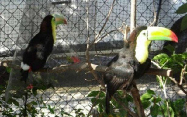 Rescatan a dos ejemplares de Tucán Real en Chiapas