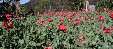 Se abre debate por siembra y cultivo de amapola