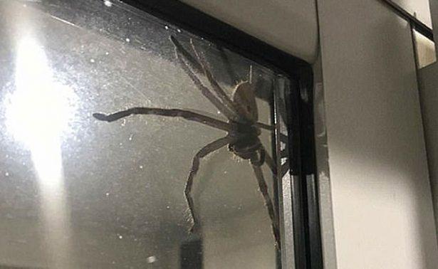¡Cuidado aracnofóbicos! Pareja australiana halla una araña gigante en su casa