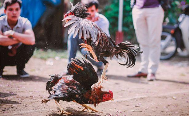 Despenalizan peleas de gallos y eventos taurinos