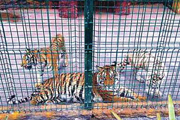 Decomisaron tres tigres en Jerécuaro