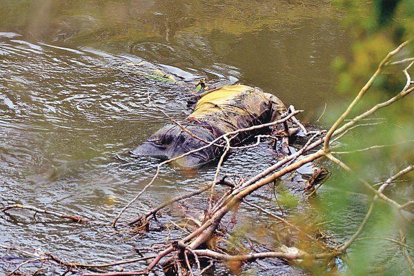 Sacan cuerpo del río Laja