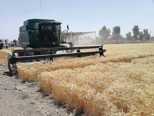 Pagaron el trigo a 4,487 por tonelada