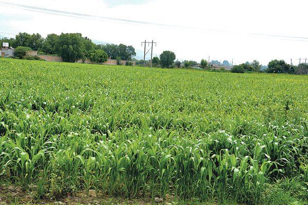 Siembran cinco mil hectáreas de maíz amarillo en el estado