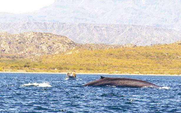 ¡Todo listo para el tercer Festival de la ballena azul en BCS!