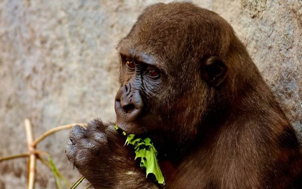 ¡Sorprendente! Los gorilas tienen hábitos de limpieza que nadie les ha enseñado