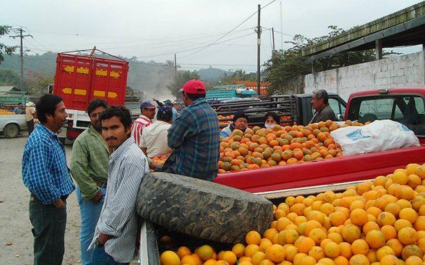 Aprovecharán productores veracruzanos desgracia de EU para producción de naranja