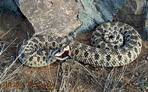 Hombre intenta ingresar a Canadá con serpientes escondidas en los calcetines