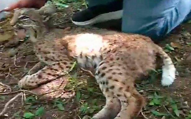 Muere gato montés por asfixia: lo intentaban rescatar en fraccionamiento