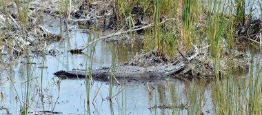 Cocodrilo atrapa a un niño y se lo lleva a laguna en Pinotepa Nacional