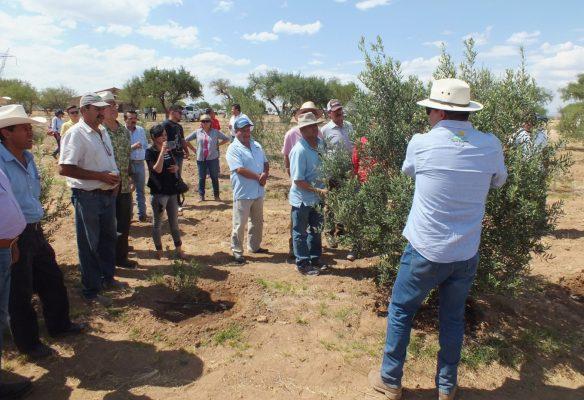 Aguascalientes tiene ya cultivos que antes eran poco comunes, como el olivo y la pitahaya