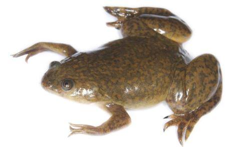 En peligro de extinción todos los  anfibios que habitan en el estado