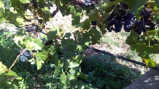 Baja 35% la producción Nacional de uva para vino