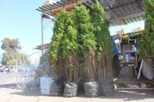 El aroma a pino llega a los hogares