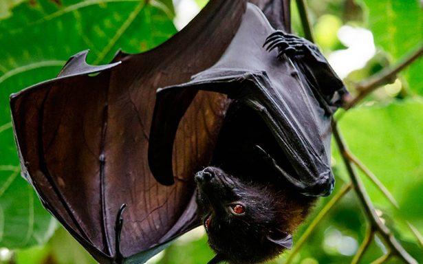 Murciélagos en riesgo: investigan síndrome que podría exterminarlos