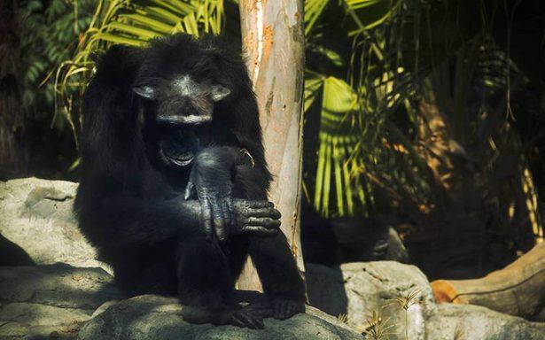 Exhiben muerte de chimpancé en Zoo de Aragón y CDMX lo confirma una semana después