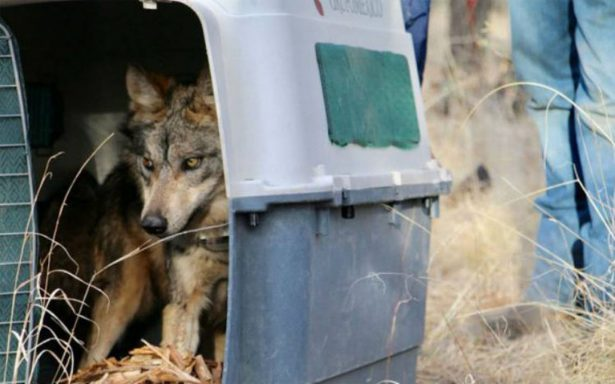 (Video)  Liberan a cinco lobos mexicanos en Chihuahua