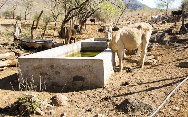 Falta de pastura y agua hace crisis en ganadería en Culiacán