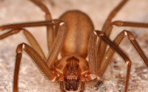 """¡Alerta! Araña violinista """"amenaza"""" a poblanos por temporada de calor"""
