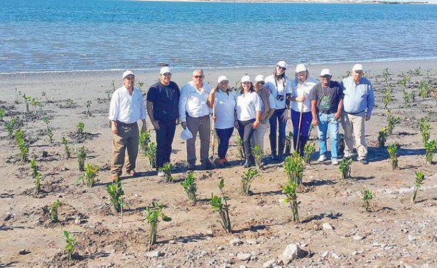 Siembran 5 mil plántulas de manglar en BCS