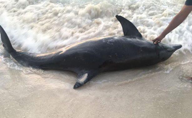 Rescatan a delfines que recalan en playas de Cancún