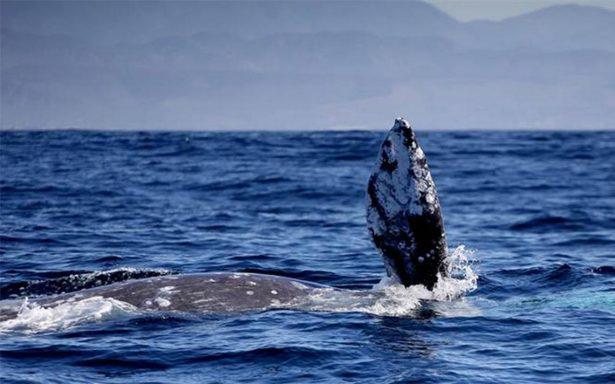Espectáculo de ballenas, atracción turística e importante fuente de ingresos