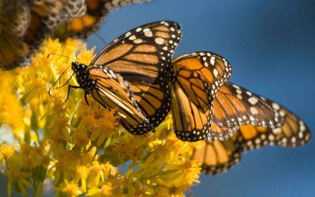 Disfruta del espectáculo naranja de la mariposa monarca en Michoacán