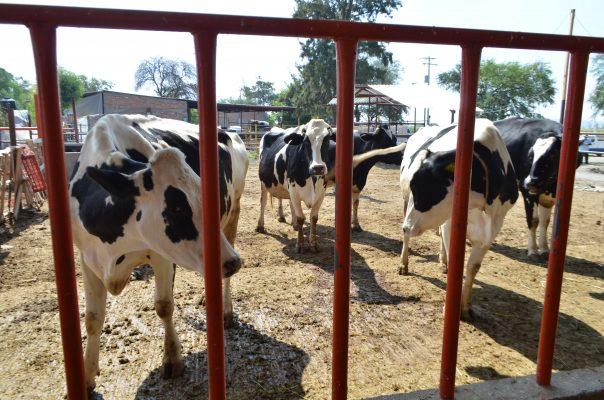 Urge a ganaderos alza al precio de la leche
