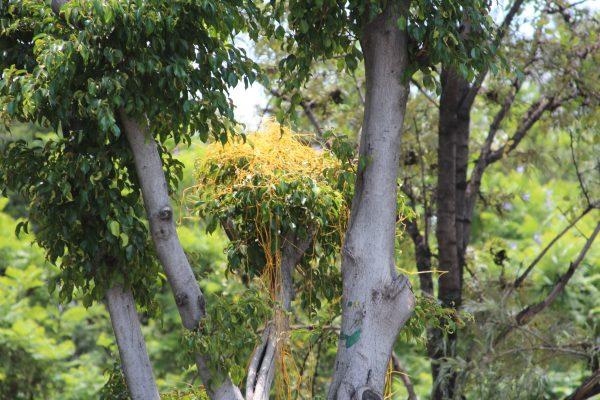 Ataca a árboles del Malecón el bejuco amarillo