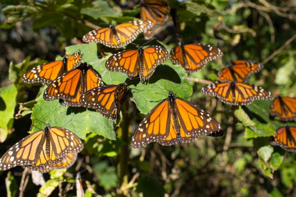 Mariposa Monarca de viaje rumbo a santuarios