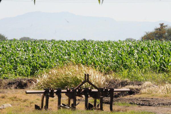 Sobreproducción de maíz afecta a productores