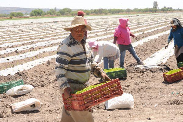 Campo guanajuatense sin afectaciones por heladas