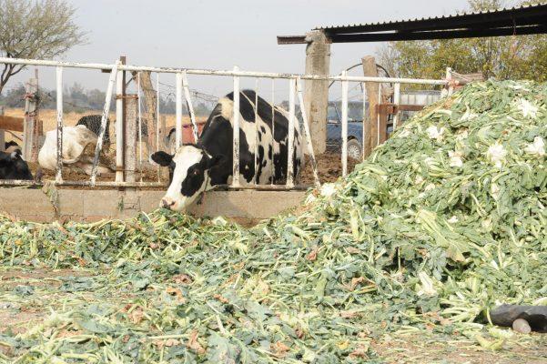 Es Guanajuato de los más importantes productores de leche, carne y huevo del país: SDAyR