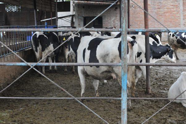 Robo de ganado, de los principales problemas que aquejan a los ganaderos