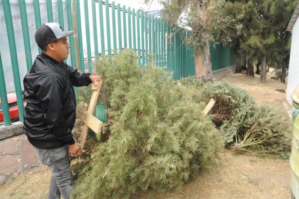 Continuará SIAP con recolección de pinos