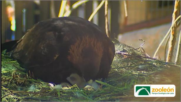 Nace primer Águila Real en el Zoológico
