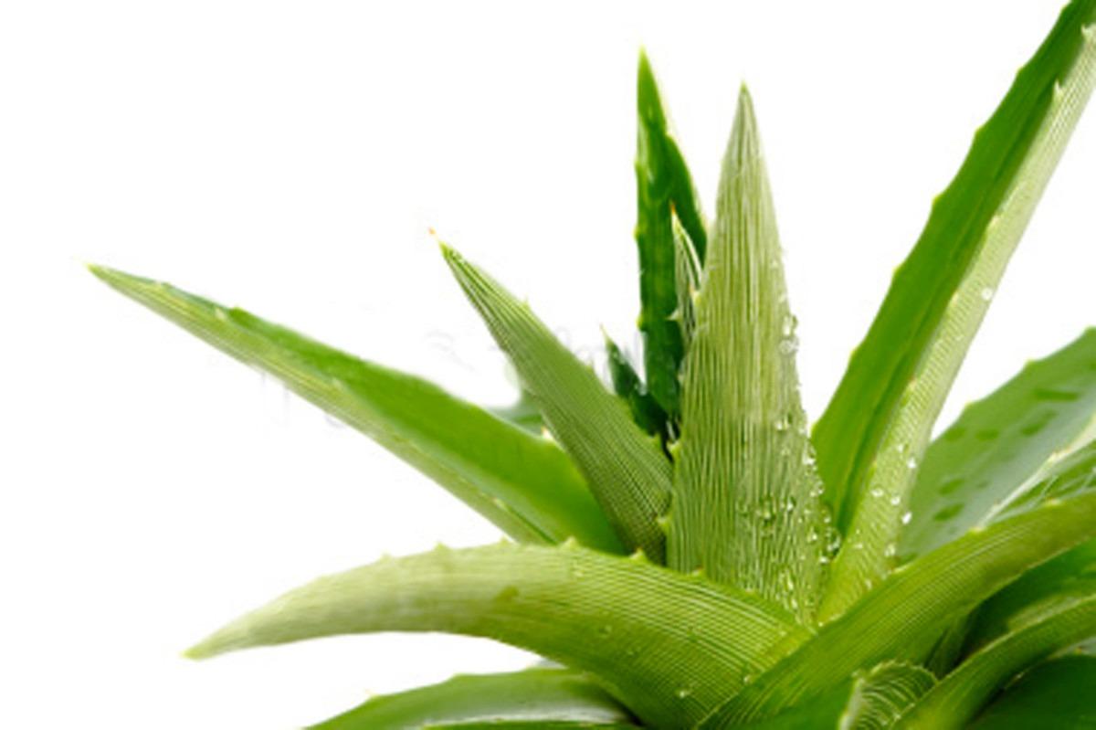08 agave
