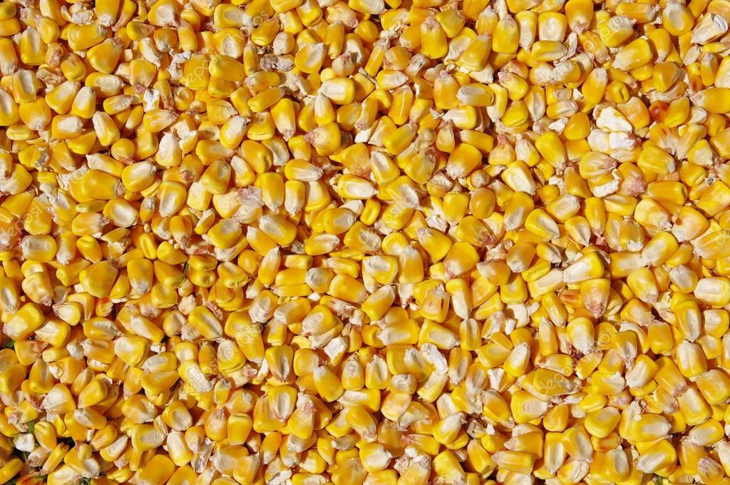 26 maíz forrajero