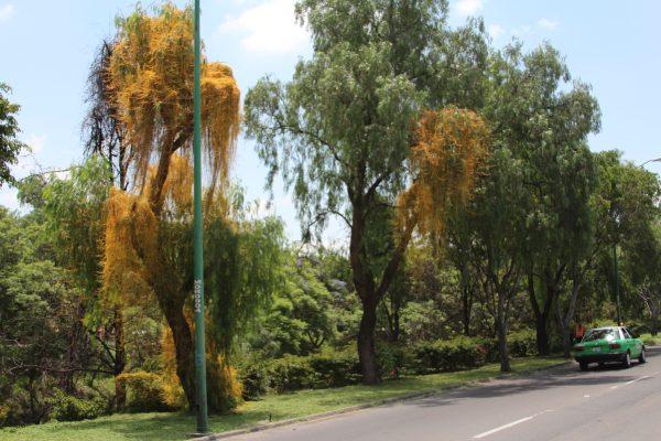 ¿Sabías que el muérdago provoca la muerte del árbol?