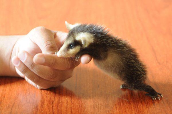 Un marsupial entre nosotros, hay que cuidarlo