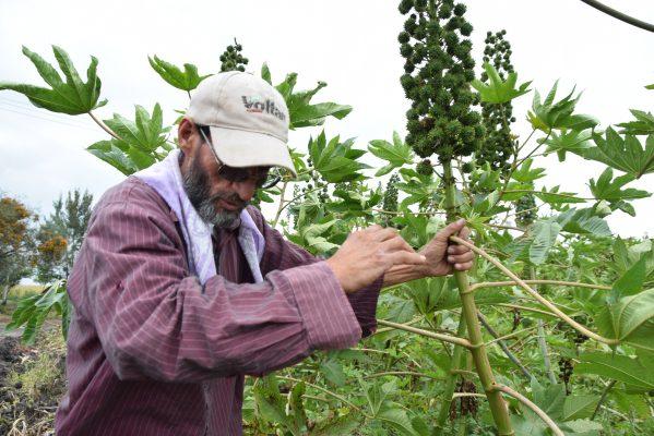 Considerada por muchos años como 'maleza', ahora es dinero para muchos agricultores