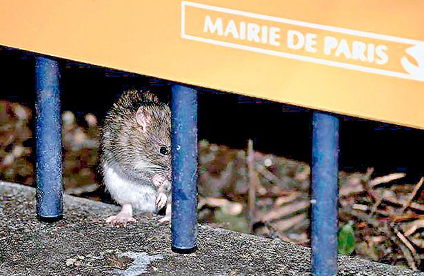 París se lanza a  la caza de las ratas