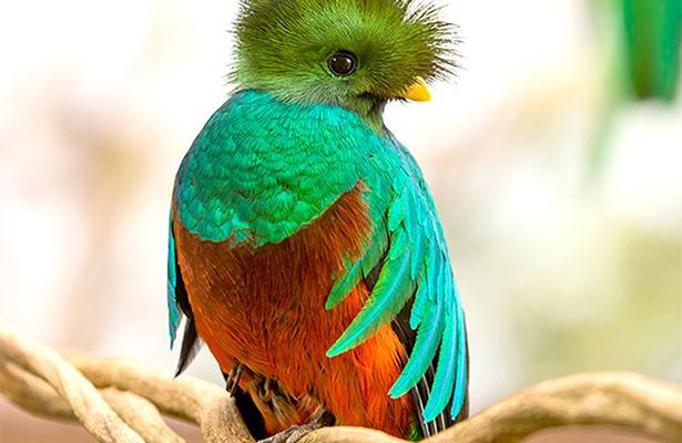 Fallece el quetzal más viejo del ZooMAT