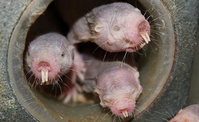 Estos roedores pueden sobrevivir sin oxígeno casi 20 minutos