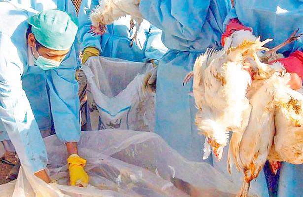 Brote de gripe aviar lleva  a sacrificar a más de 500 mil aves de corral