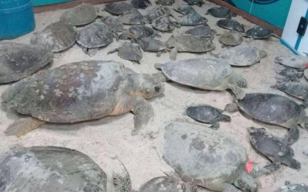 Rescatan120 tortugas verdes varadas por el frío